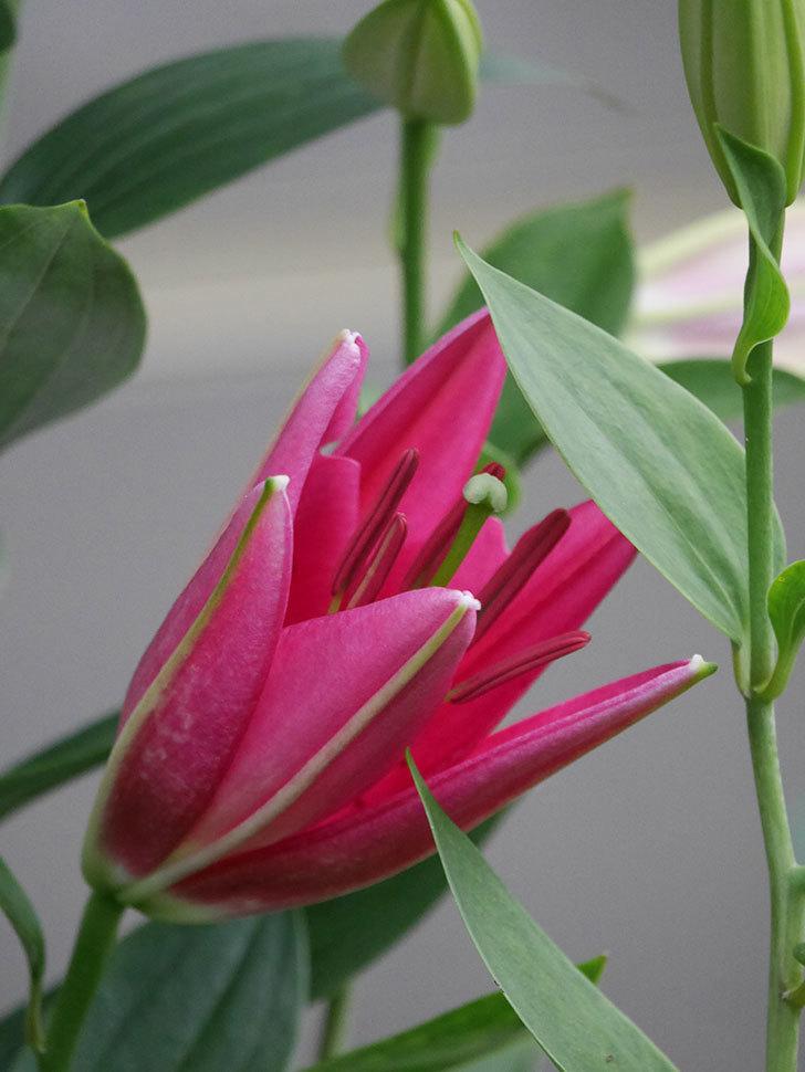 ビビアナの花が咲きだした。2020年-004.jpg