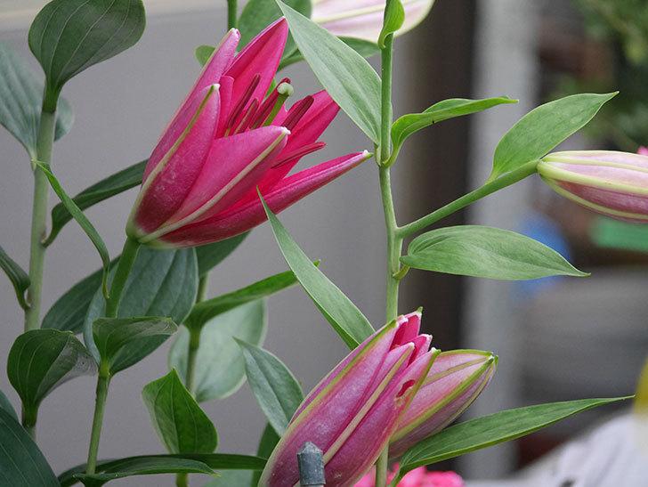 ビビアナの花が咲きだした。2020年-006.jpg