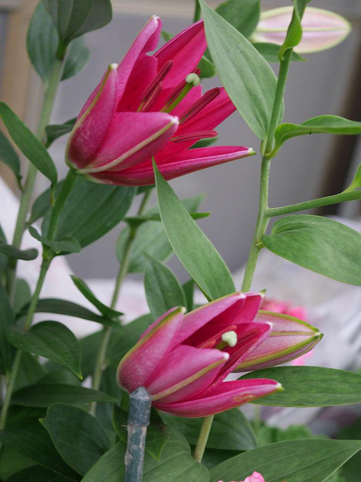 ビビアナの花が咲きだした。2020年-007.jpg