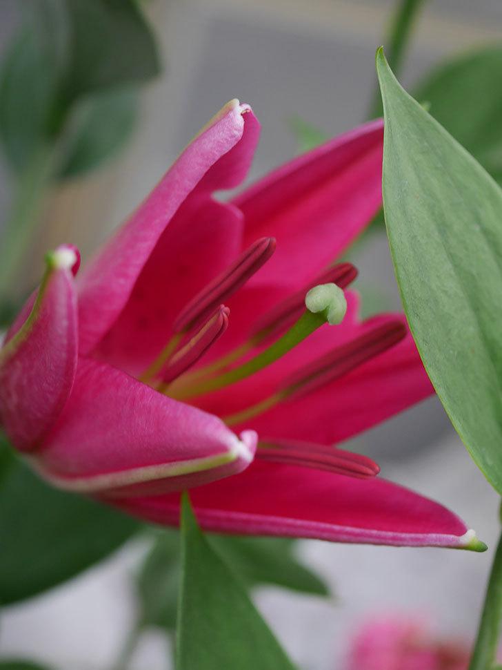 ビビアナの花が咲きだした。2020年-009.jpg