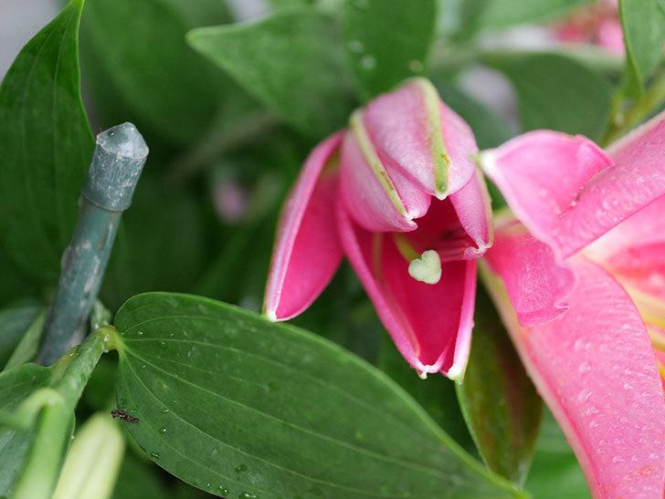 ビビアナの花が咲きだした。2020年-022.jpg
