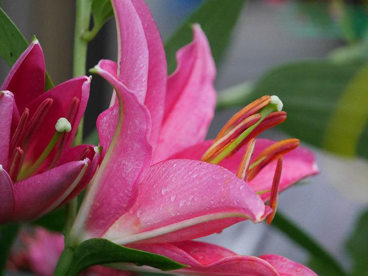 ビビアナの花が咲きだした。2020年-024.jpg