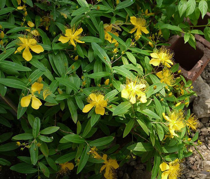 ビヨウヤナギがたくさん咲いた。2016年-4.jpg