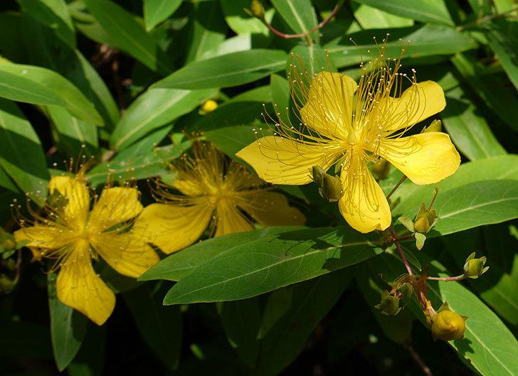 ビヨウヤナギが咲いた。2015年-1.jpg