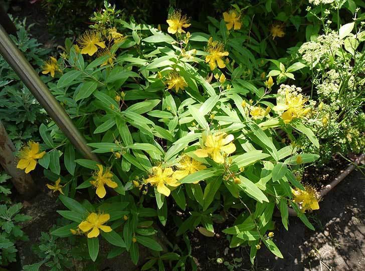 ビヨウヤナギが咲いた。2015年-2.jpg