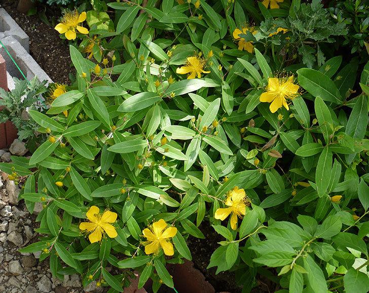 ビヨウヤナギが咲いた。2016年-2.jpg
