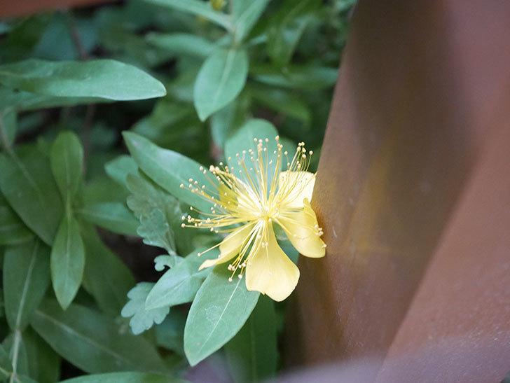ビヨウヤナギの花が咲いた。2020年-001.jpg