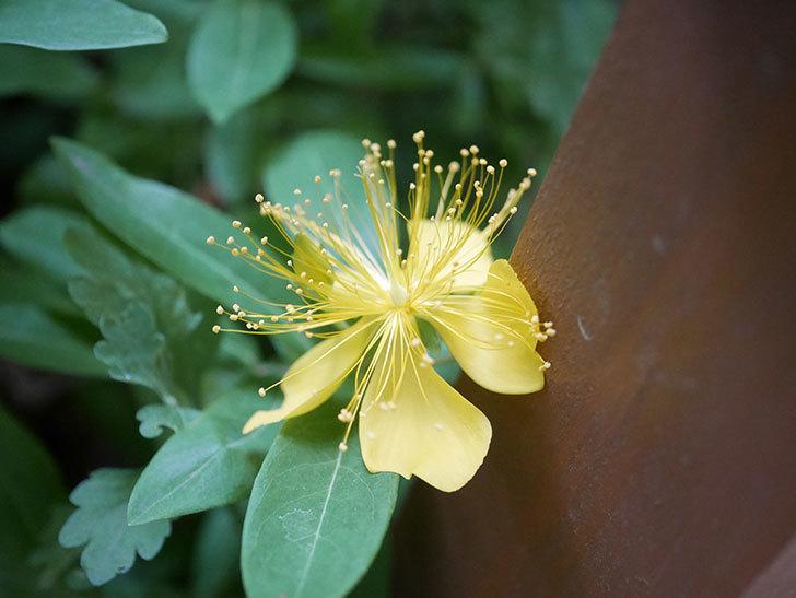 ビヨウヤナギの花が咲いた。2020年-002.jpg