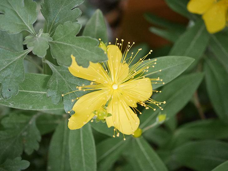 ビヨウヤナギの花が咲いた。2020年-003.jpg
