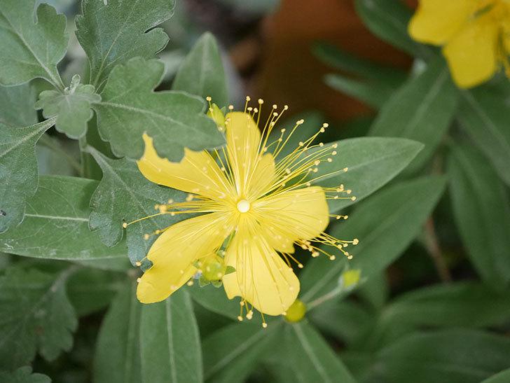 ビヨウヤナギの花が咲いた。2020年-004.jpg