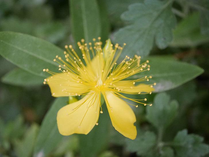 ビヨウヤナギの花が咲いた。2020年-007.jpg