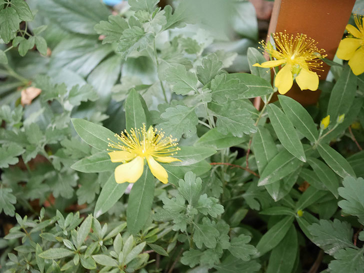 ビヨウヤナギの花が咲いた。2020年-008.jpg