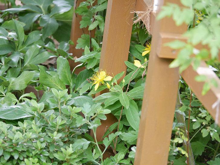 ビヨウヤナギの花が咲いた。2021年-001.jpg