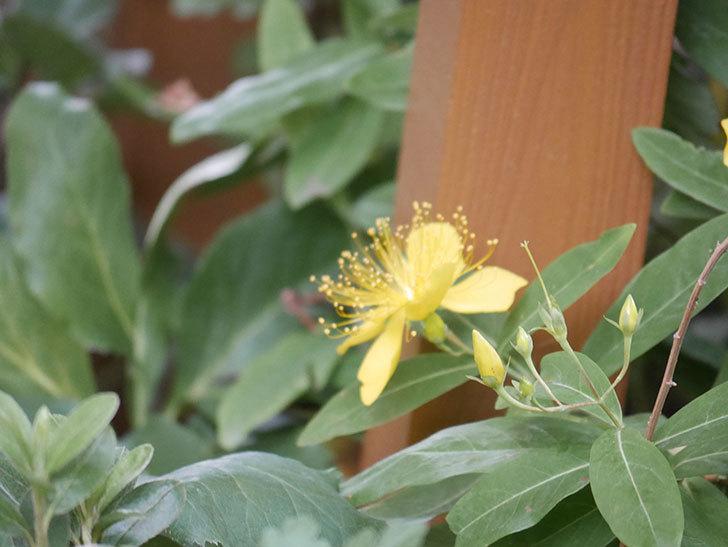 ビヨウヤナギの花が咲いた。2021年-002.jpg