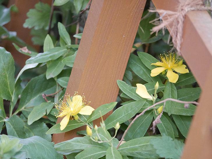 ビヨウヤナギの花が咲いた。2021年-003.jpg