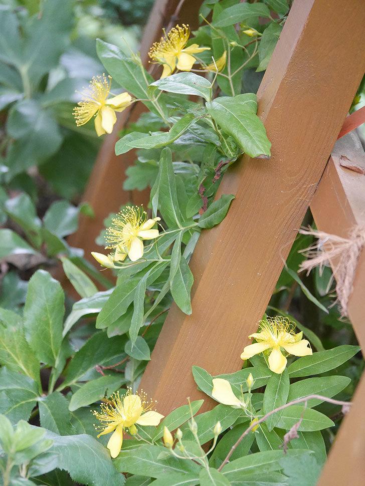 ビヨウヤナギの花が咲いた。2021年-004.jpg