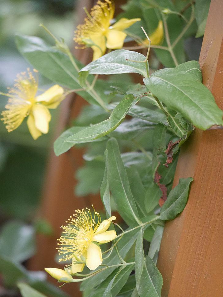 ビヨウヤナギの花が咲いた。2021年-009.jpg