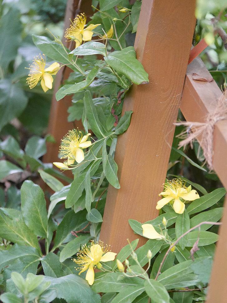 ビヨウヤナギの花が咲いた。2021年-010.jpg