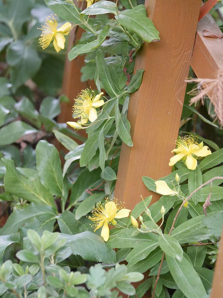 ビヨウヤナギの花が咲いた。2021年-011.jpg