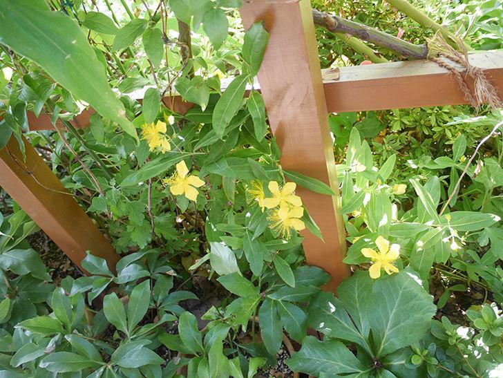 ビヨウヤナギの花が咲いた。2021年-012.jpg