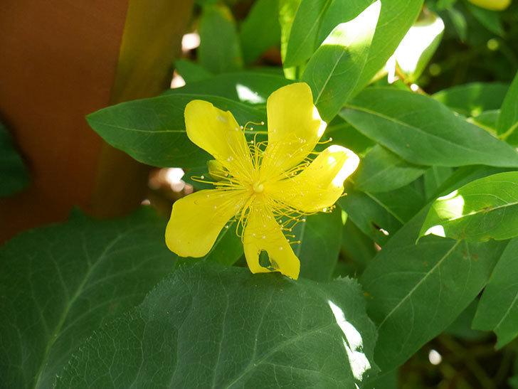 ビヨウヤナギの花が咲いた。2021年-014.jpg