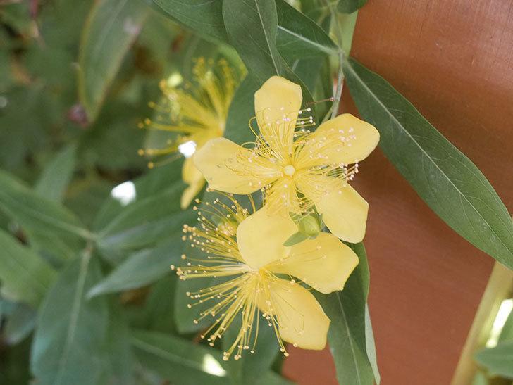 ビヨウヤナギの花が咲いた。2021年-017.jpg