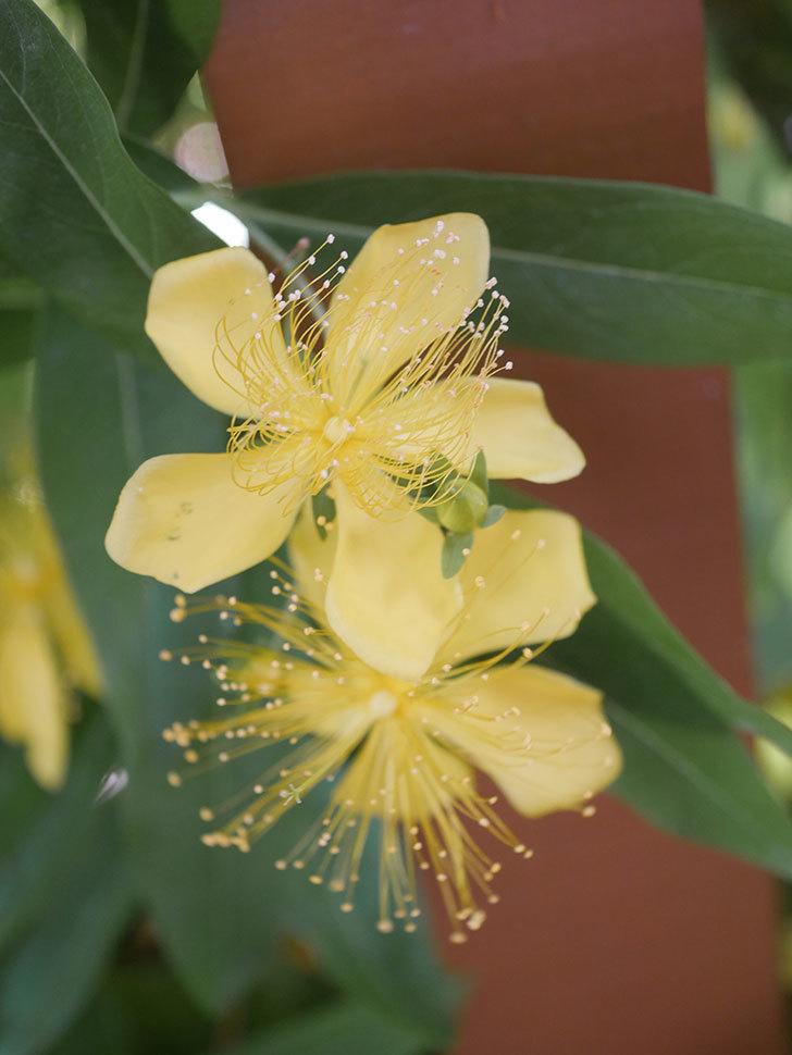 ビヨウヤナギの花が咲いた。2021年-018.jpg