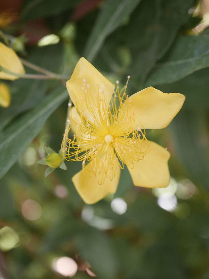 ビヨウヤナギの花が咲いた。2021年-019.jpg