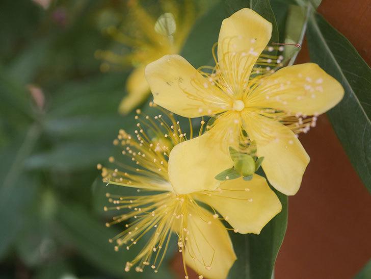 ビヨウヤナギの花が咲いた。2021年-021.jpg