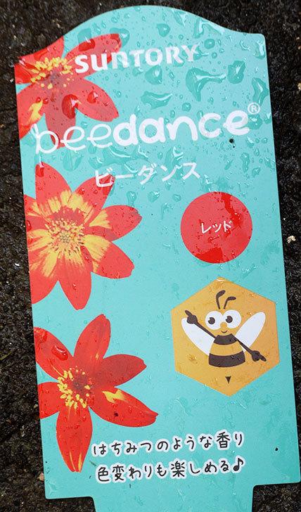 ビーダンス(ビデンス)がホームズで150円だったので4個買って来た。2016年-4.jpg
