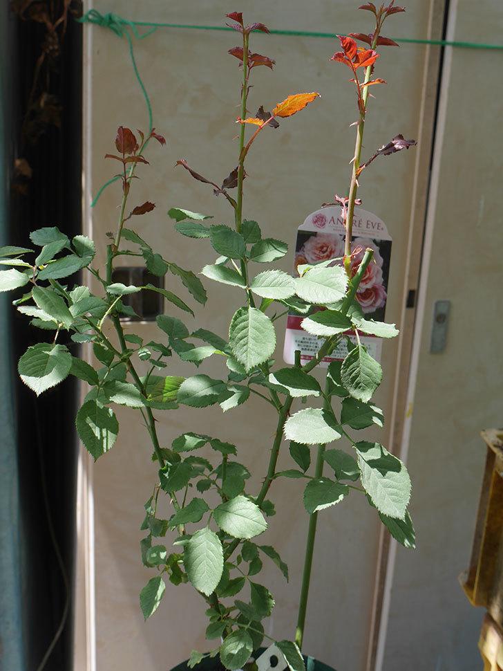 ピエールエルメ(Pierre Herme)の新苗を6号ロングスリット鉢に植え換えた。半ツルバラ。2020年-007.jpg
