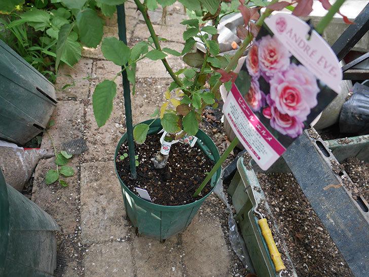 ピエールエルメ(Pierre Herme)の新苗を8号ロングスリット鉢に植え換えた。半ツルバラ。2020年-001.jpg