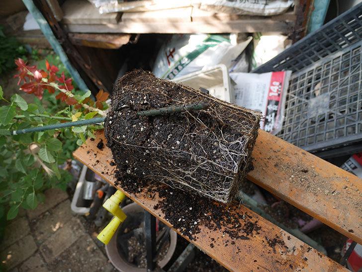 ピエールエルメ(Pierre Herme)の新苗を8号ロングスリット鉢に植え換えた。半ツルバラ。2020年-003.jpg