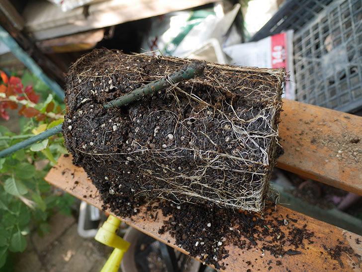 ピエールエルメ(Pierre Herme)の新苗を8号ロングスリット鉢に植え換えた。半ツルバラ。2020年-004.jpg