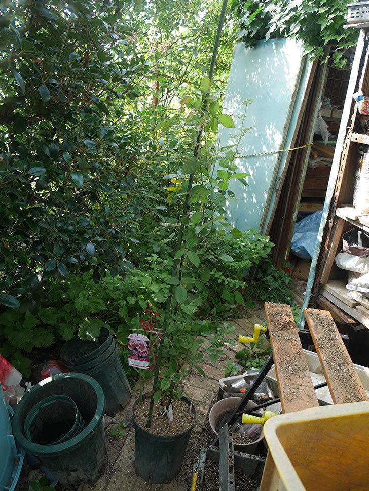 ピエールエルメ(Pierre Herme)の新苗を8号ロングスリット鉢に植え換えた。半ツルバラ。2020年-007.jpg