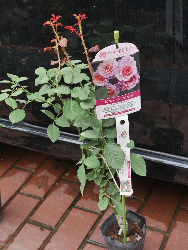 ピエールエルメ(Pierre Herme)の新苗を楽天のバラの家で買った。半ツルバラ。2020年-001.jpg