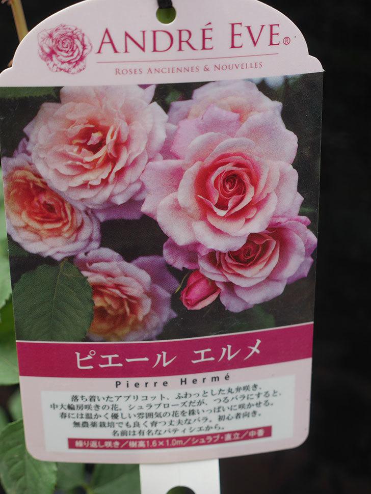 ピエールエルメ(Pierre Herme)の新苗を楽天のバラの家で買った。半ツルバラ。2020年-002.jpg