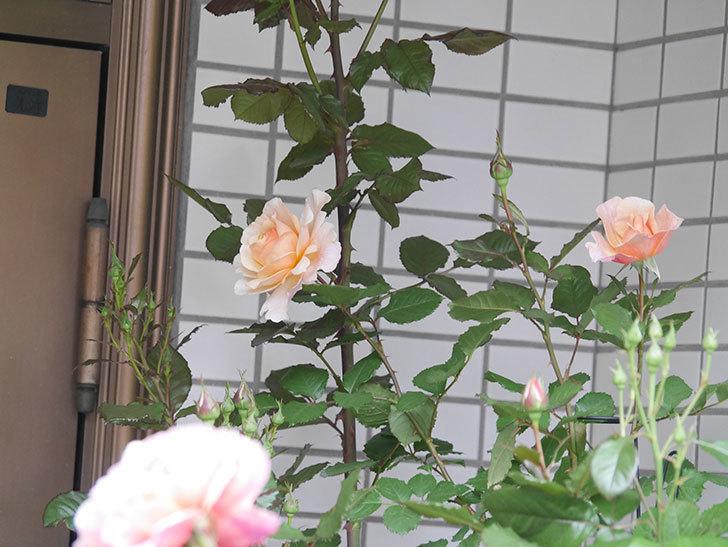 ピエールエルメ(Pierre Herme)の花が咲いた。半ツルバラ。2021年-001.jpg