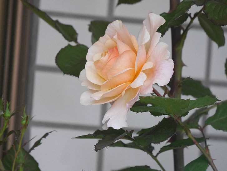 ピエールエルメ(Pierre Herme)の花が咲いた。半ツルバラ。2021年-002.jpg