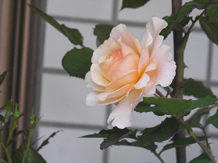 ピエールエルメ(Pierre Herme)の花が咲いた。半ツルバラ。2021年-003.jpg