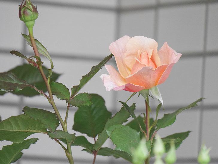 ピエールエルメ(Pierre Herme)の花が咲いた。半ツルバラ。2021年-004.jpg