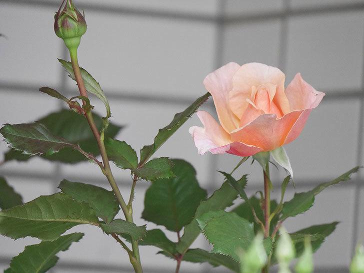 ピエールエルメ(Pierre Herme)の花が咲いた。半ツルバラ。2021年-005.jpg