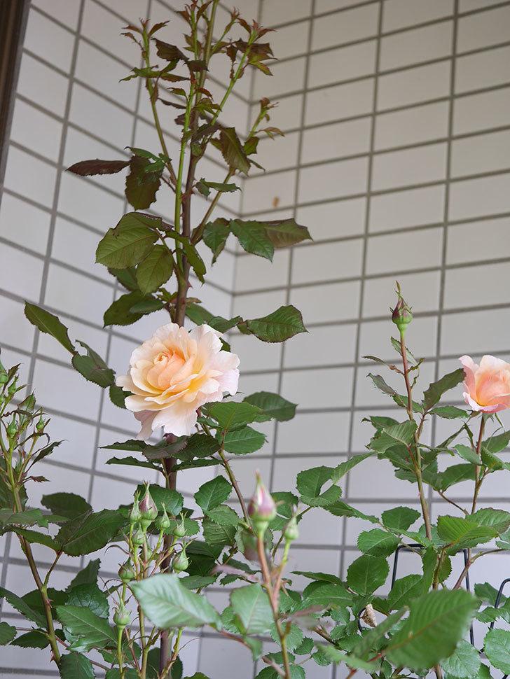 ピエールエルメ(Pierre Herme)の花が咲いた。半ツルバラ。2021年-006.jpg