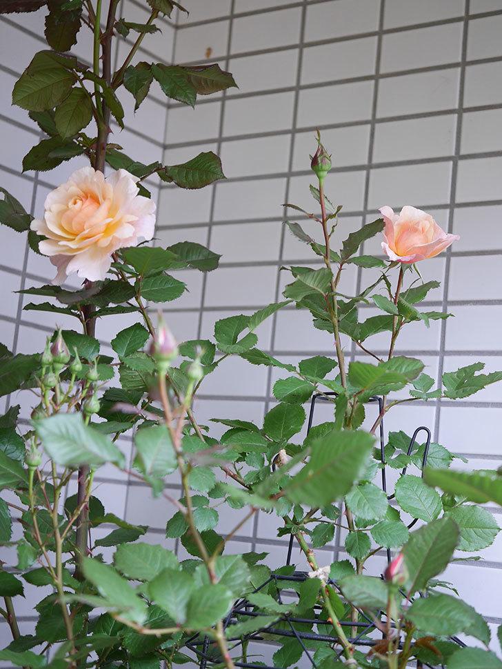 ピエールエルメ(Pierre Herme)の花が咲いた。半ツルバラ。2021年-007.jpg