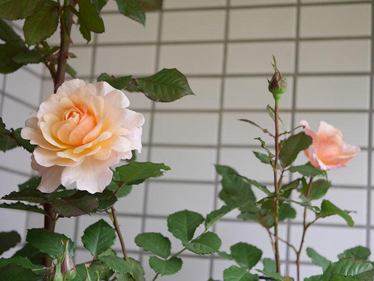 ピエールエルメ(Pierre Herme)の花が咲いた。半ツルバラ。2021年-008.jpg