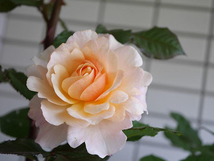 ピエールエルメ(Pierre Herme)の花が咲いた。半ツルバラ。2021年-009.jpg