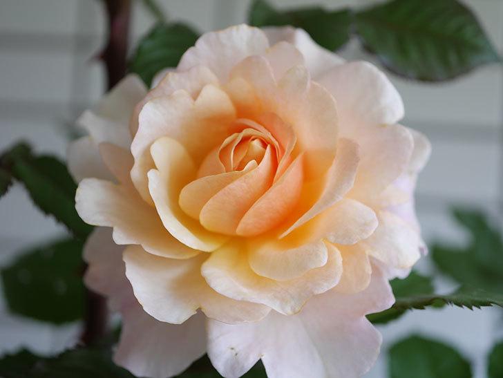 ピエールエルメ(Pierre Herme)の花が咲いた。半ツルバラ。2021年-010.jpg