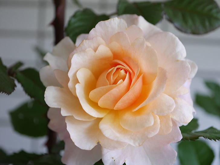 ピエールエルメ(Pierre Herme)の花が咲いた。半ツルバラ。2021年-011.jpg