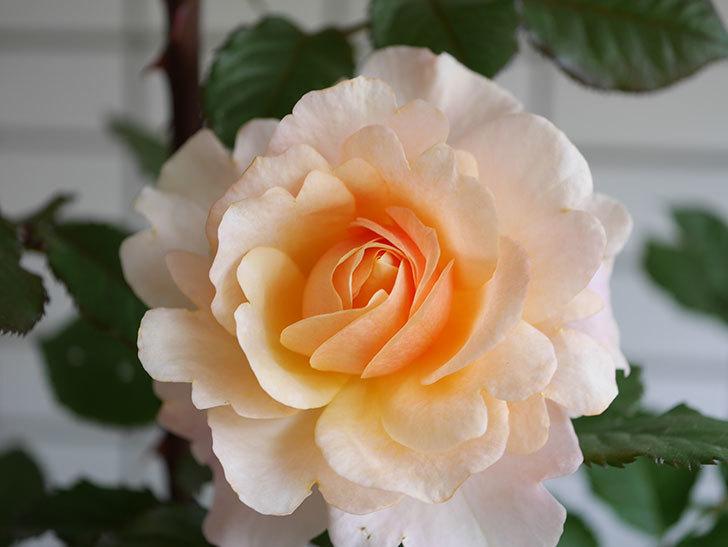 ピエールエルメ(Pierre Herme)の花が咲いた。半ツルバラ。2021年-012.jpg