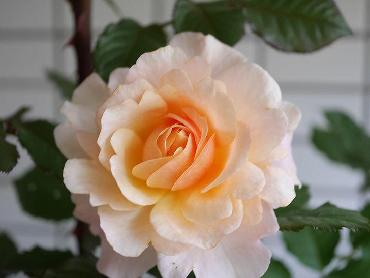 ピエールエルメ(Pierre Herme)の花が咲いた。半ツルバラ。2021年-013.jpg